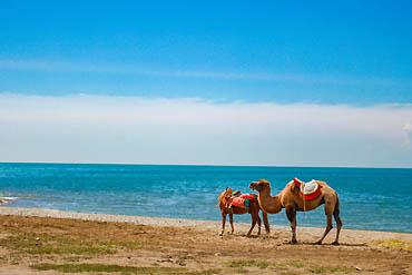 摄图网_500526405_banner_青海湖边的骆驼(企业商用)